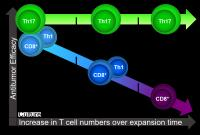 Th17 Cells Retain Antitumor Efficacy after Expansion to Large Numbers Outside the Body