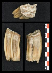 High crowned horse teeth