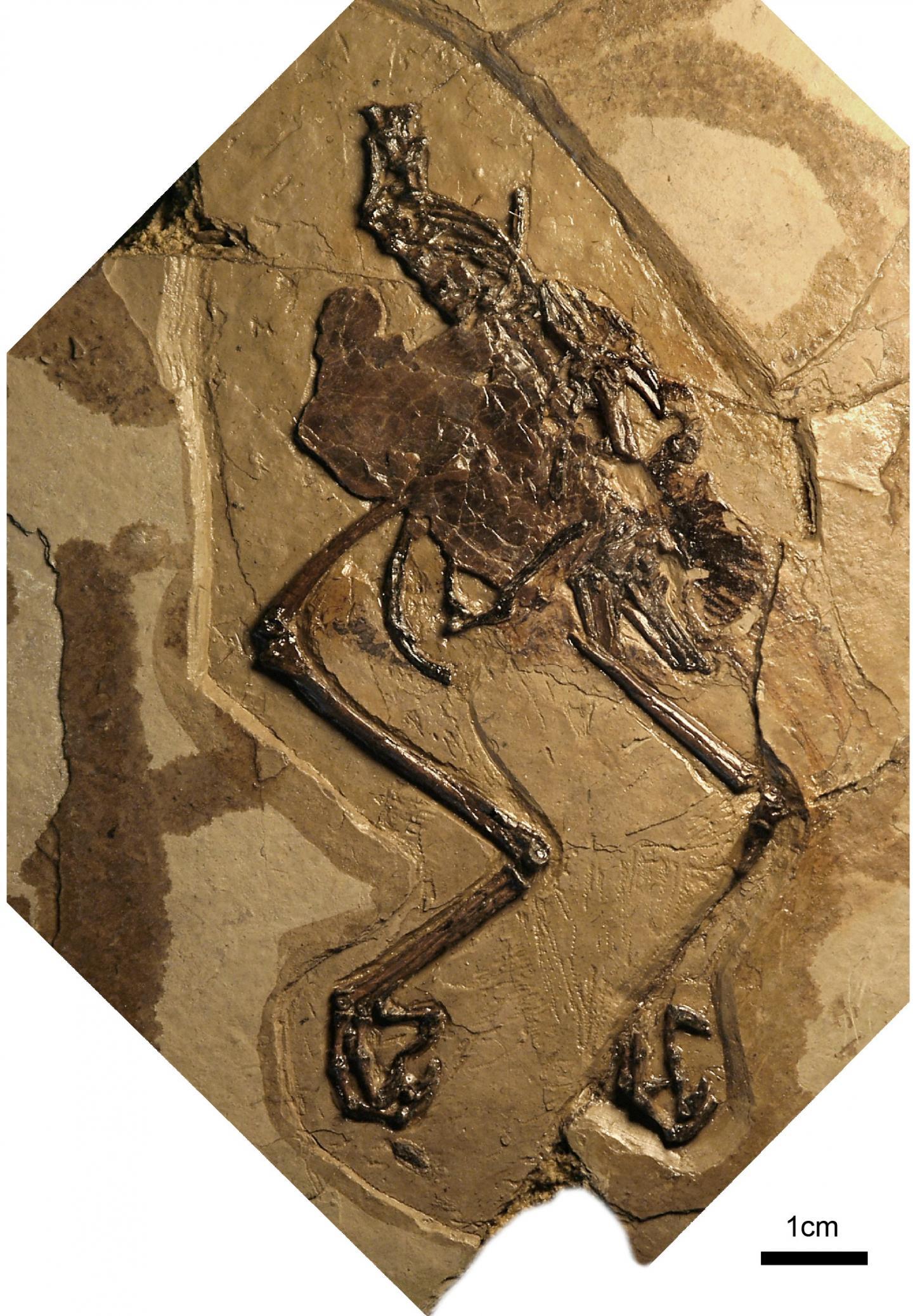 Photograph of the Holotype of <em>Avimaia schweitzerae</em>