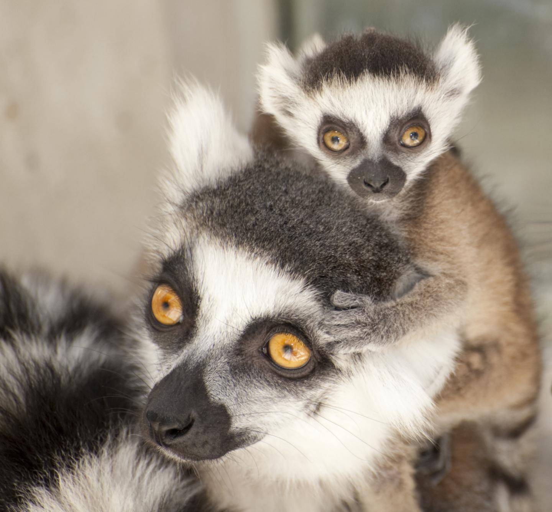 Lemur Mom and Baby