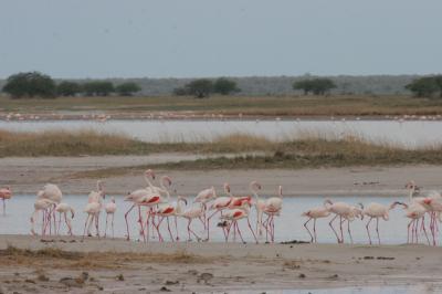 Flamingos Congregating, Namibia