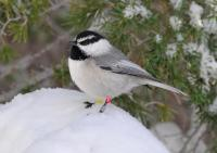 Mountain Chickadees Live Year-Round in Harsh Sierra Nevada Climate
