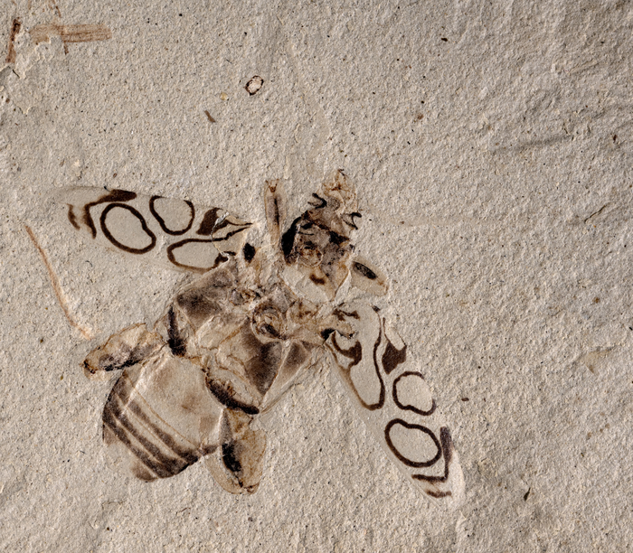 New beetle species identified from 49 million year old fossil