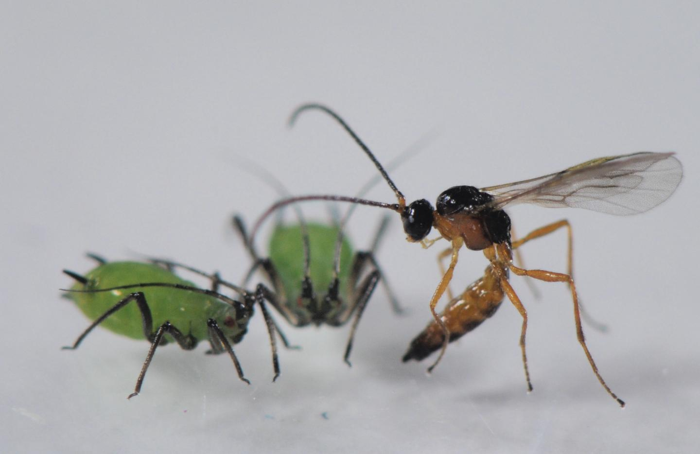 Parasitoid Wasp Attacking Aphids