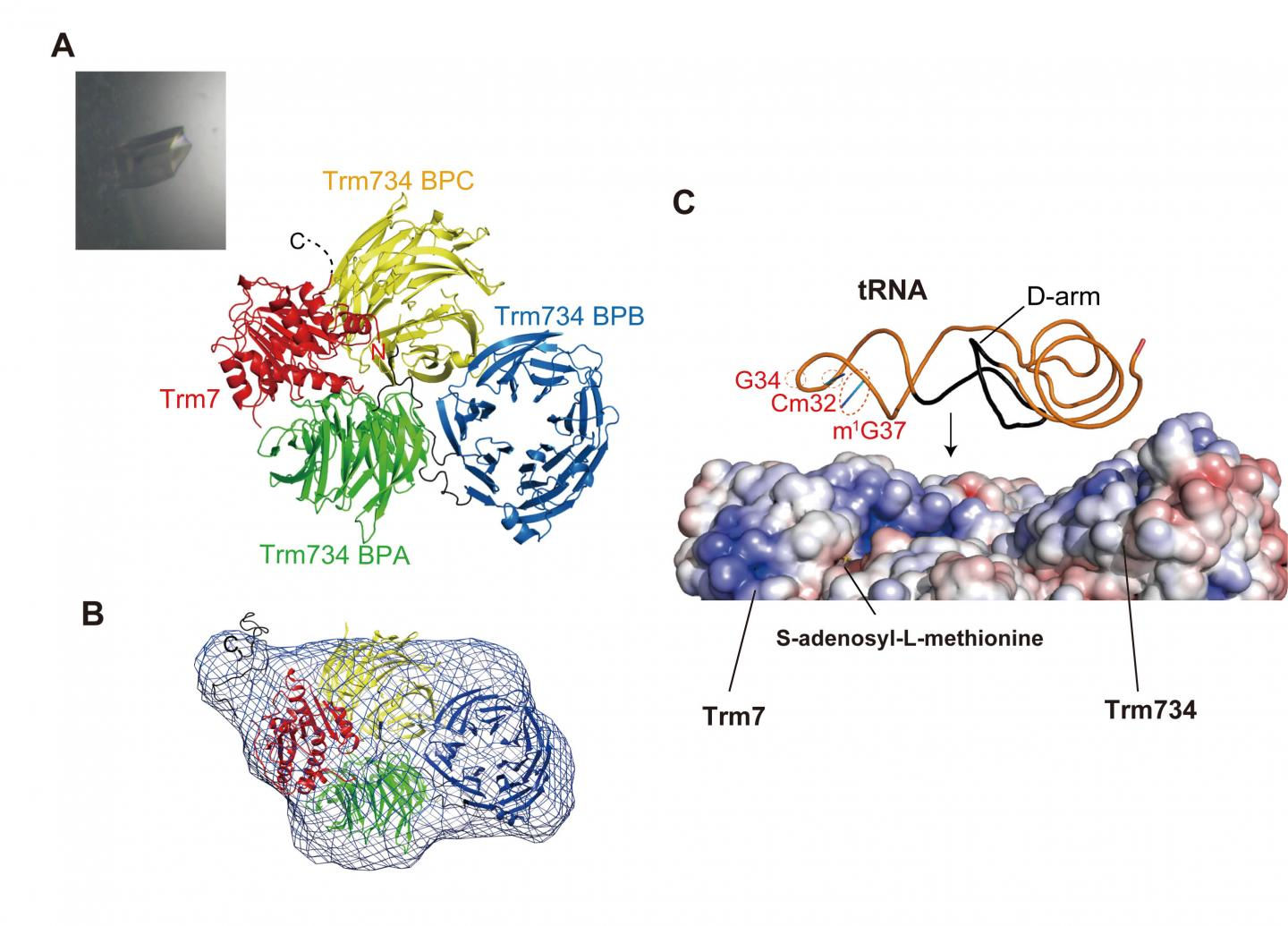 Structure of Trm7-Trm734 and Interaction Model between Trm7-Trm734 and Substrate tRNA