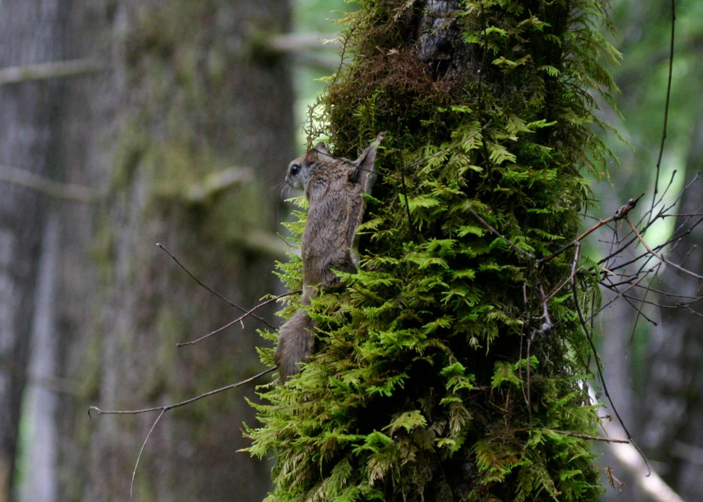 Humboldt's Flying Squirrel
