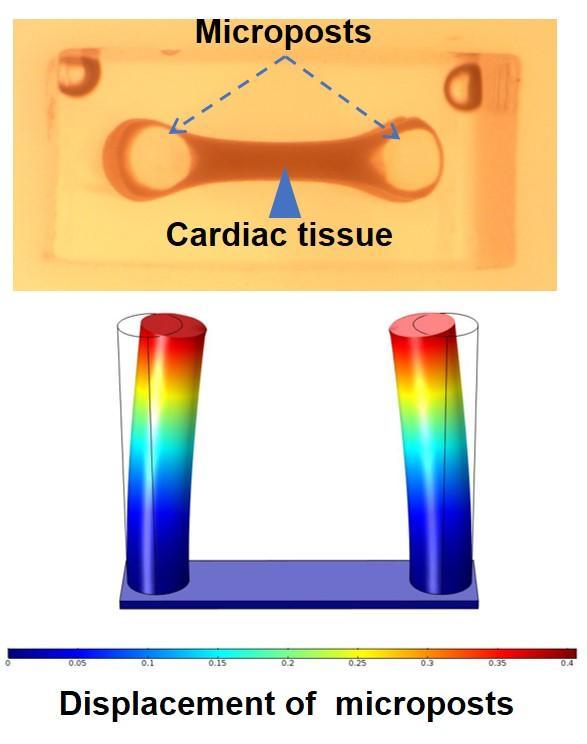 Measurement of Contractive Forces of Collagen V-Deficient Fibroblasts