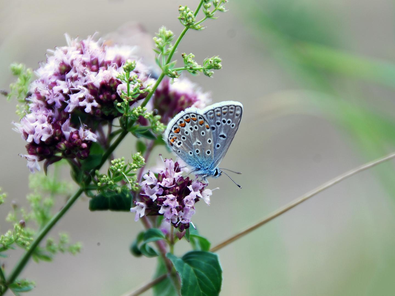 Hominy Blue (<em>Polyommatus icarus</em>)
