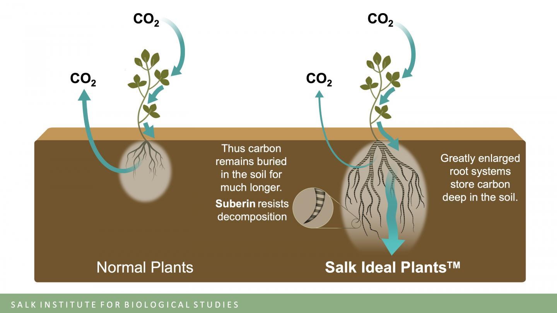 Salk Ideal Plants image