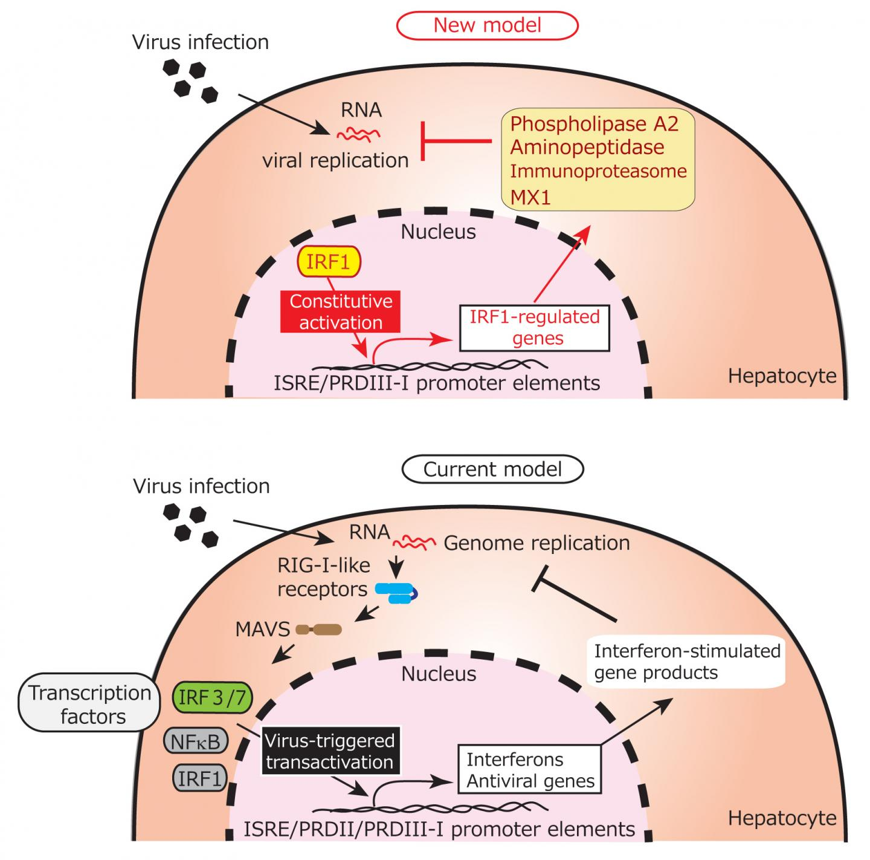 Hepatocytes Innate Immune Response to RNA Viruses