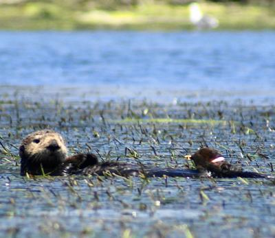 Otter in Eelgrass Bed