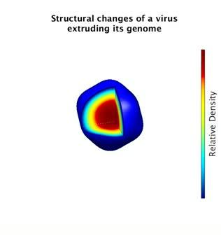 Structural Changes of a Virus Extruding its Genome
