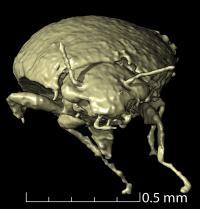 Triamyxa coprolithica anterior view