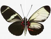 Comparison of Wing Patterns on Two Sara Longwing Butterflies