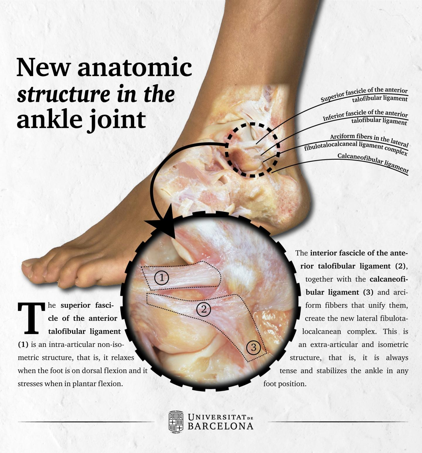 New Anatomical Structure Described in the Ankle Joint
