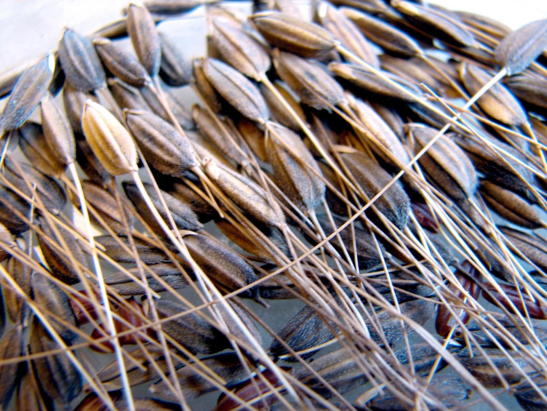 Grains of Weedy Rice