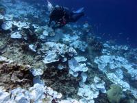 Seascape of Bleached Plating Corals