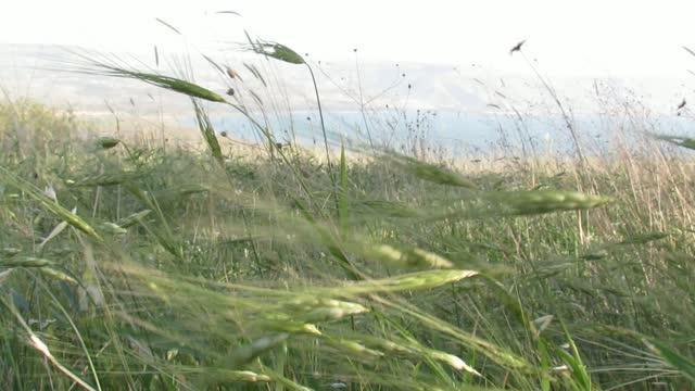 Wild Emmer Wheat 3