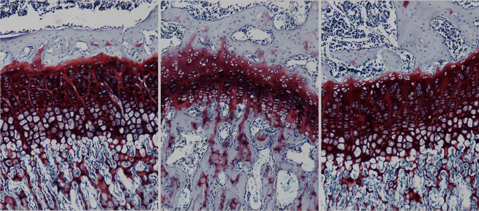Histological analysis of sections of the growth plate
