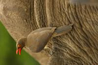 Red-Billed Oxpecker Calling on Black Rhino