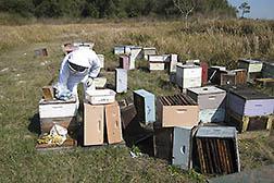 Beekeeper Working Managed Bee Colonies