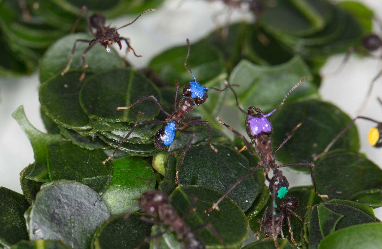 Leaf-cutting Ant Colony