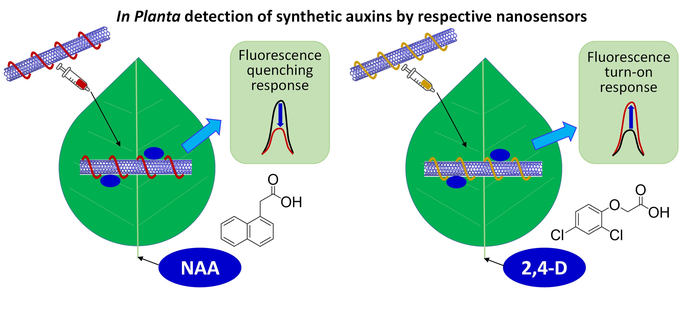 Illustration of novel in planta CoPhMoRe nanosensors for detection of synthetic auxin plant hormones, NAA and 2,4-D