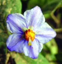 <I>Solanum</I> (1 of 2)