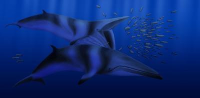 New Fossil Whale: <i>Balaenoptera bertae</i>