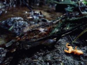 Aquatic fungus has already wiped amphibians o - EurekAlert