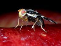 Female Apple Maggot Fly