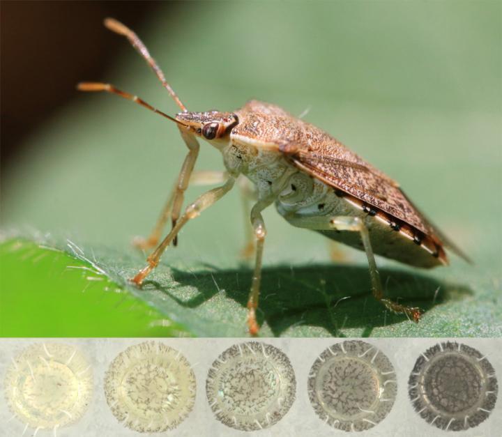 Color Range of Stink Bug Eggs