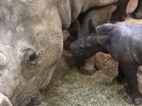 White Rhinoceros Calf 1 Hour after Birth in Salzburg Zoo