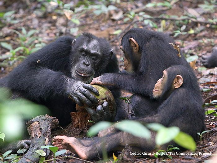 Orphaned Chimpanzees Do not Suffer from Chronic Stress