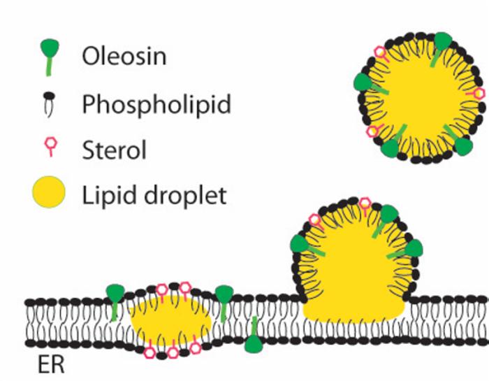 lipid droplet formation on endoplasmic reticulum