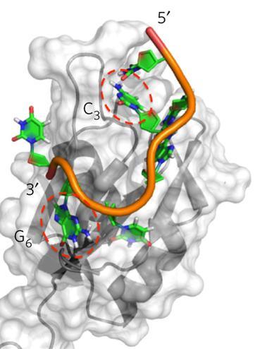 Rbfox2 with Natural RNA Target