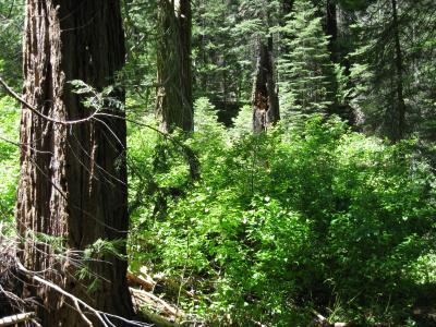 Cedars, Snag at Yosemite National Park Plot