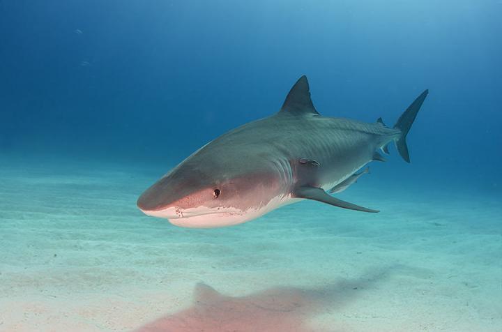 Tiger Shark At Tigerbeach Bahamas