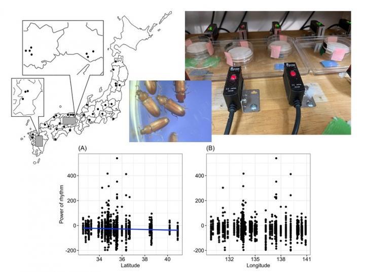 Variations in biological clocks of red flour beetles based on location