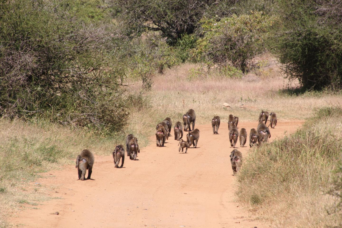 Travelling baboons