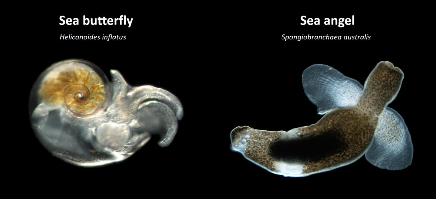 The Two Main Groups of Pteropods