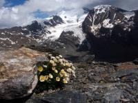 Glacier buttercup