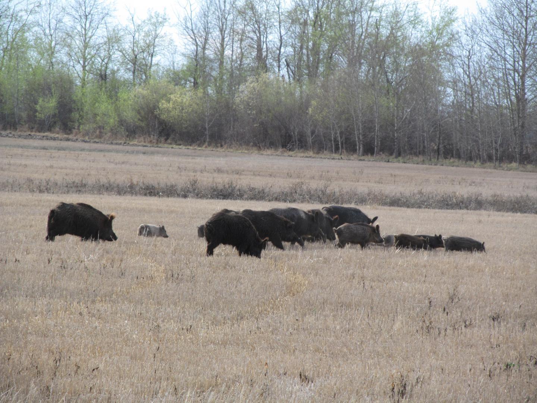 Wild Pigs Foraging in Saskatchewan, Canada