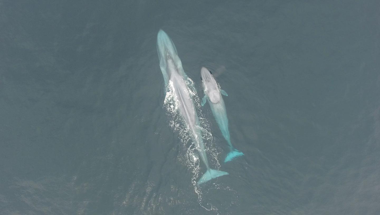 Aerial Blue Whales