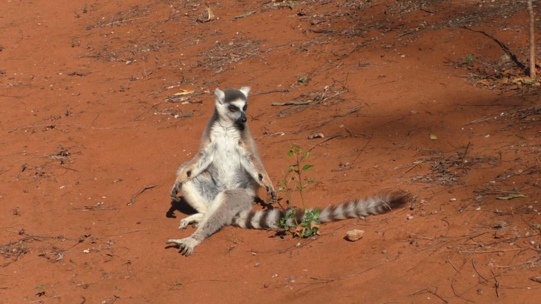 Male Lemur