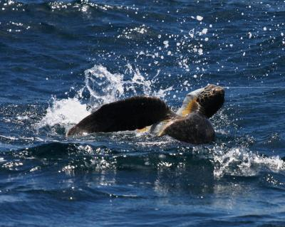 Green Turtle Hooked on a Longline in the Eastern Pacific near Costa Rica