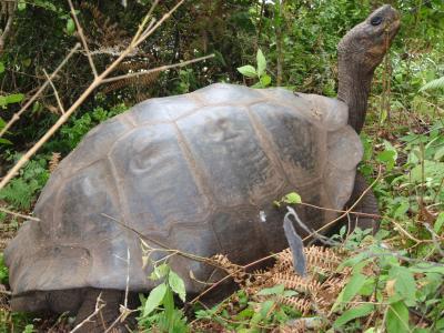 A Native Tortoise