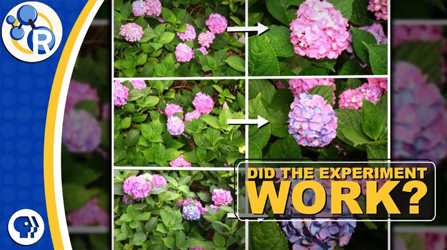 Hydrangeas and the Science of Do-overs (Video)
