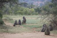 Olive Baboons at Mpala Research Center in Kenya