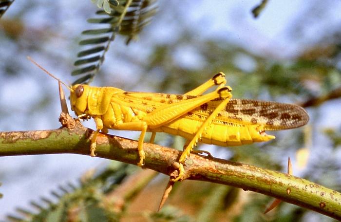 Desert Locust: mature adult